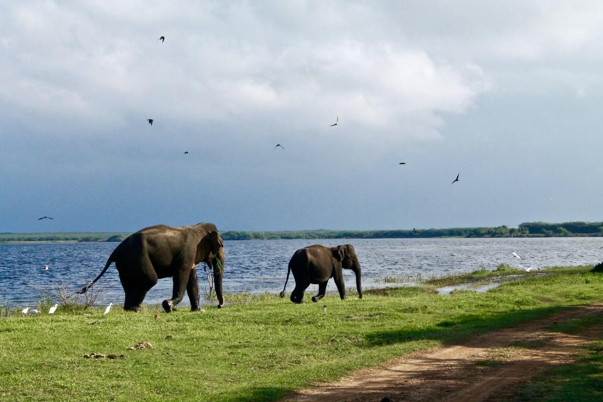 Kriski Plus Wisten jullie dat de Sri Lankaanse olifant nagenoeg geen slagtanden heeft?