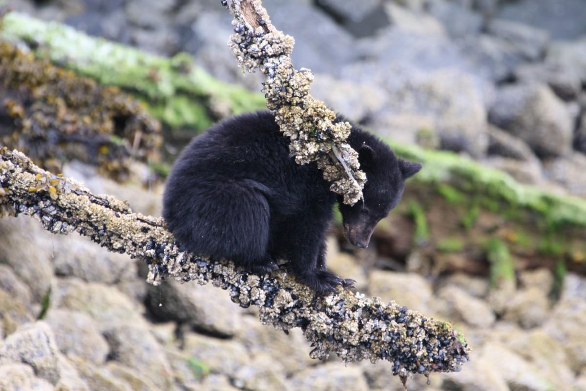 Kriski Plus Zwarte beren schuimen de waterkant af op zoek naar krabben.
