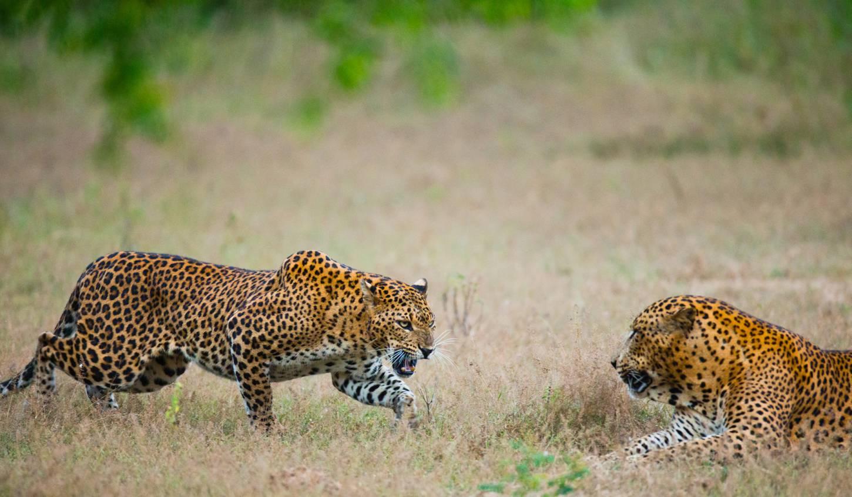 Oog in oog met luipaarden Op jeepsafari de exotische jungle in Kriski Plus