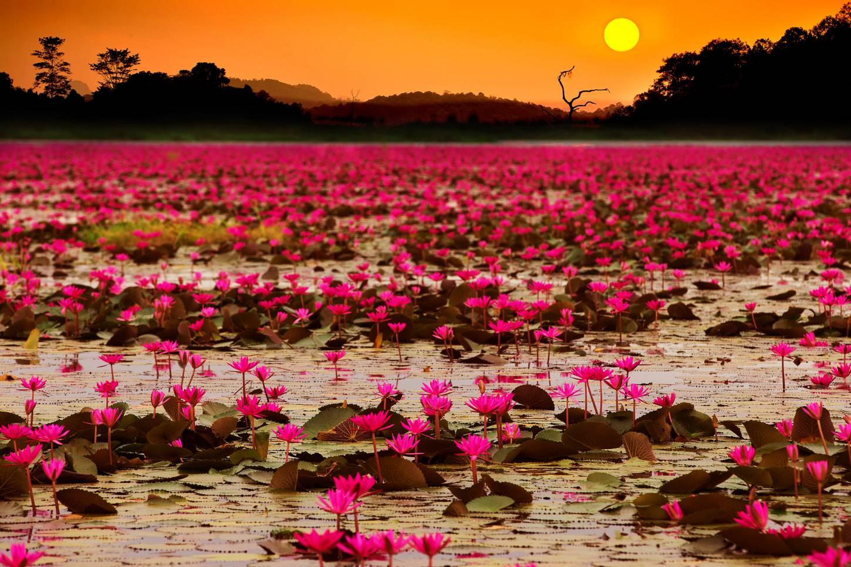 Het meer met miljoenen rode lotusbloemen Een boottocht op de Red Lotus Sea van Udon Thani Kriski Plus