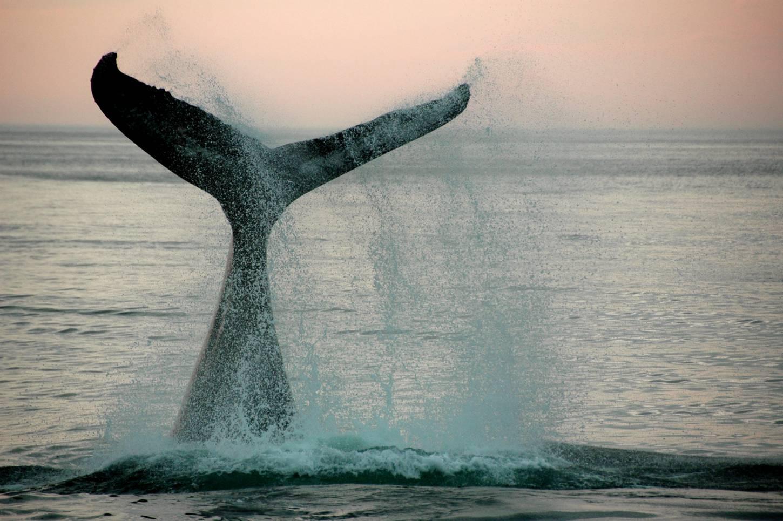 Zeilen tussen walvissen en dolfijnen Ontdek de geheimen van de idyllische baaien  Kriski Plus