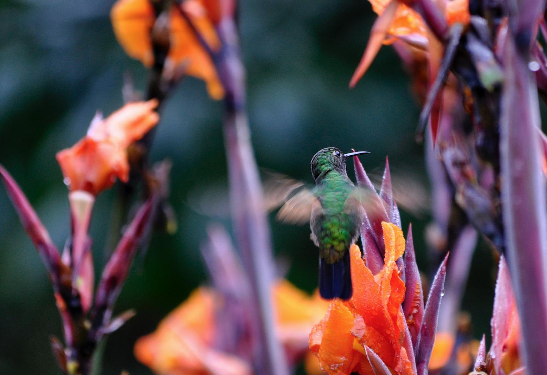 Kleurrijke Quetzales spotten Een opwindende zoektocht naar de zeldzame, mythische vogel Kriski Plus