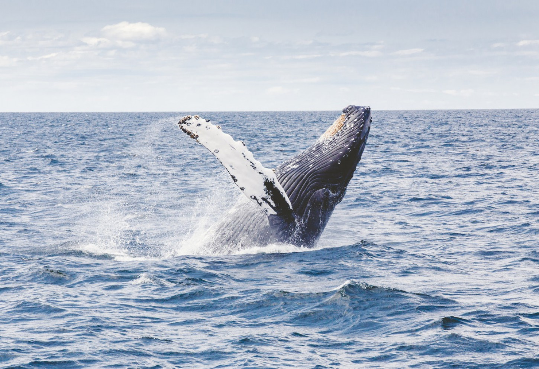 Wandel over de walvisstaart van Marino Ballena Bultruggen en dolfijnen spotten voor de kust van Uvita Kriski Plus