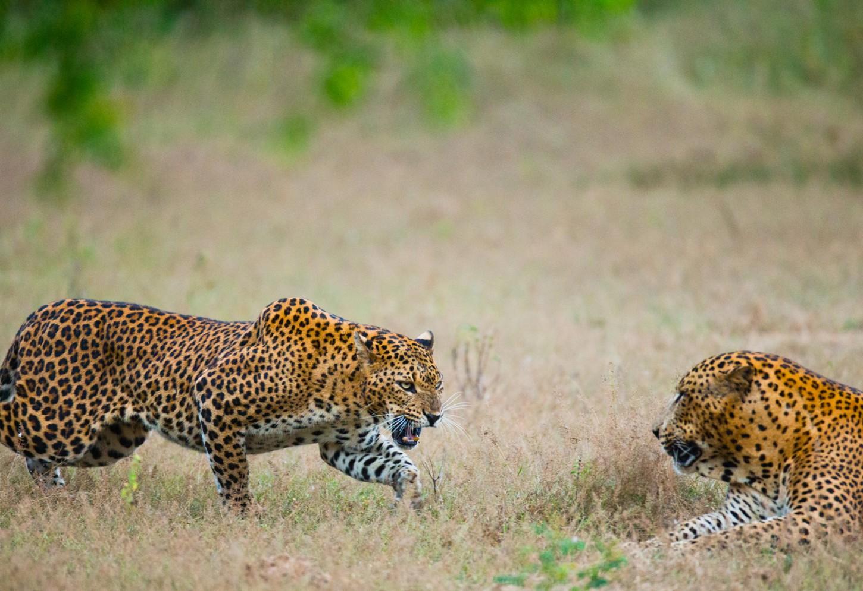 Oog in oog met luipaarden Kriski Plus