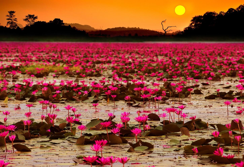 Het meer met miljoenen rode lotusbloemen Kriski Plus