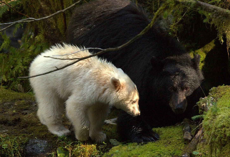 Mysterieuze ontmoeting met de Spirit Bear Kriski Plus