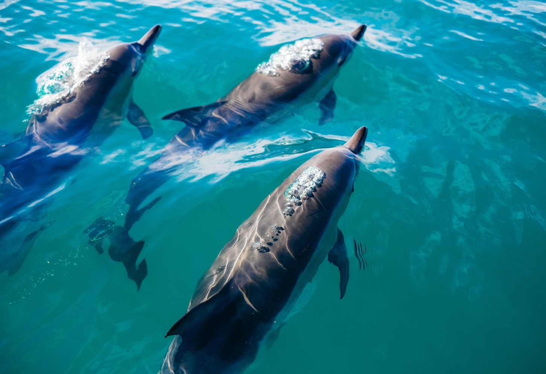 Zwem met wilde dolfijnen in Kaikoura Speels onderwaterballet Kriski Plus