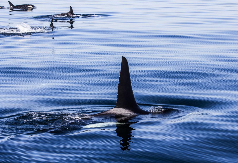 Orka's spotten in de Strait of Juan de Fuca Een merkwaardige beleving Kriski Plus