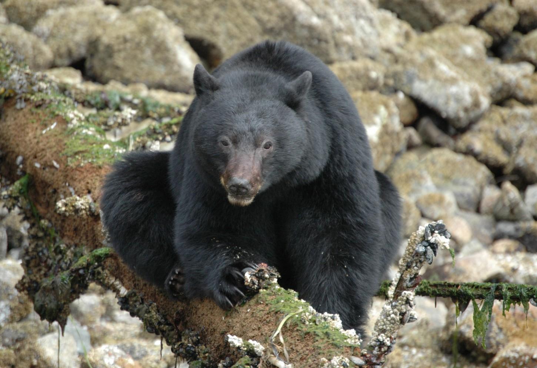 Beren spotten op Vancouver Island Kriski Plus