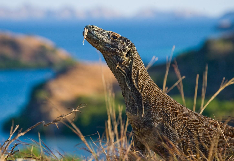 Heersende Komodo draken Kriski Plus