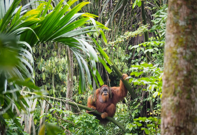 Orang-Oetans spotten in het wild Kriski Plus