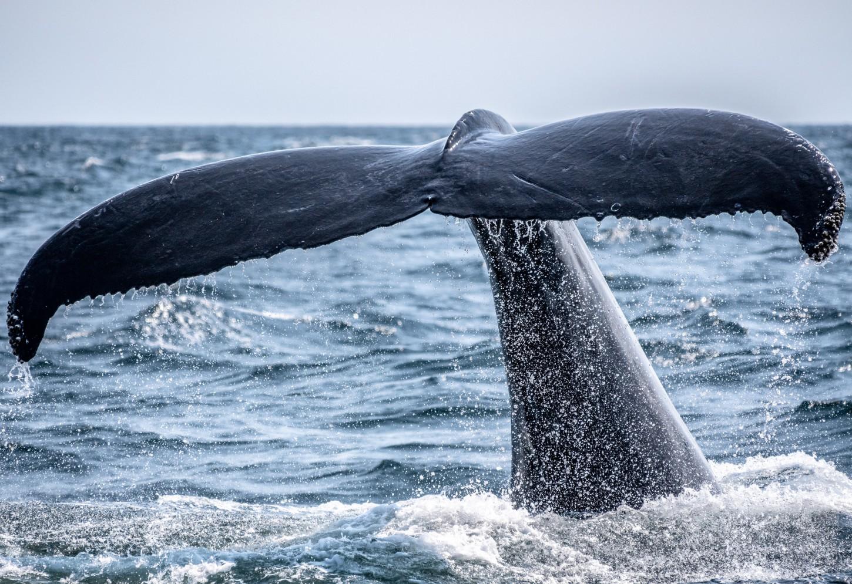 Kajakken tussen beluga's en walvissen Kriski Plus