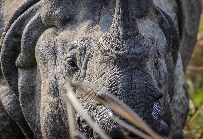 Oog in oog met een reus Op zoek naar de Indische neushoorn Kriski Plus