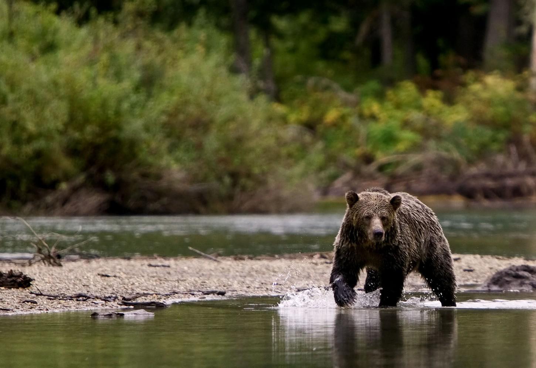 Oog in oog met een grizzlybeer Kriski Plus