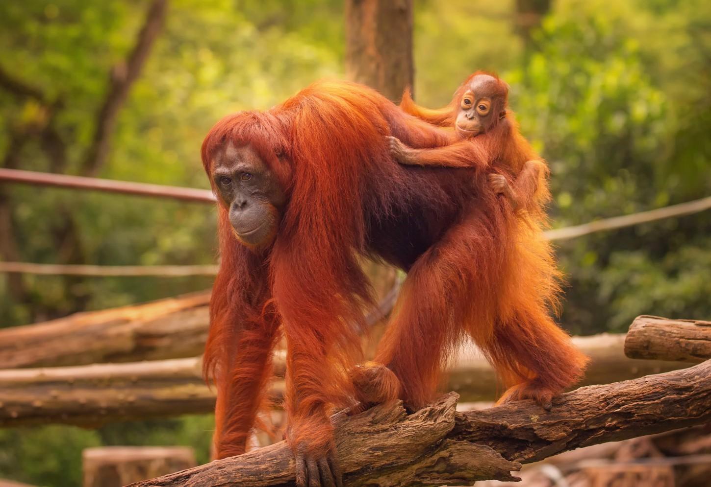 De Orang Oetans van Borneo Kriski Plus