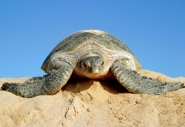 Spot groene zeeschildpadden in Ras Al Jinzz Kriski Plus
