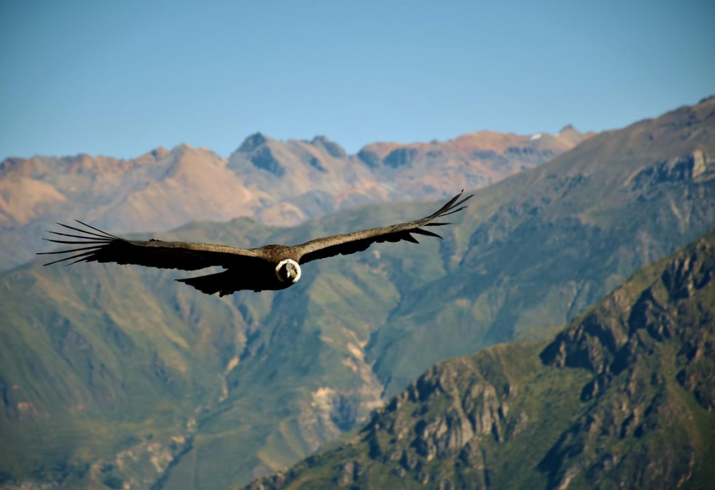 De condors van Colca Canyon Kriski Plus