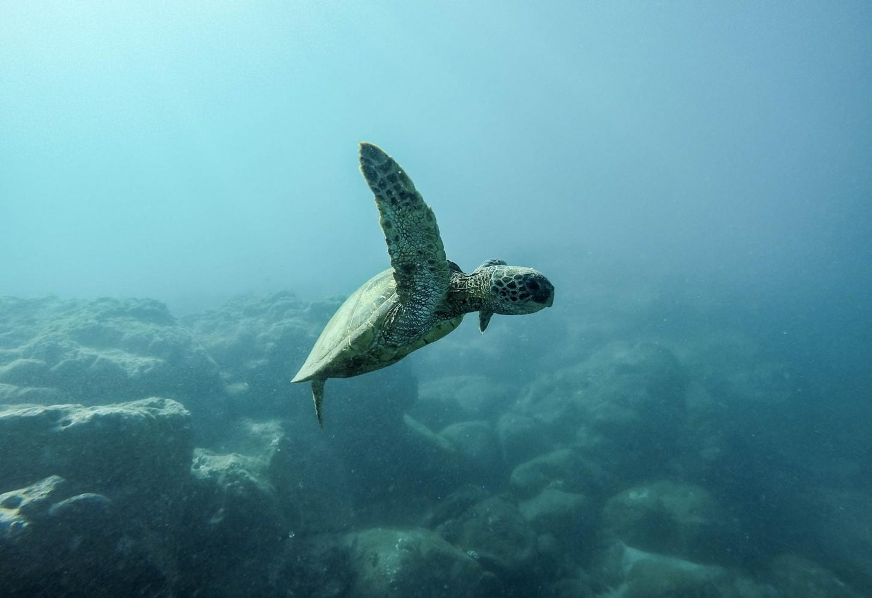 Zie babyschildpadden geboren worden Kriski Plus