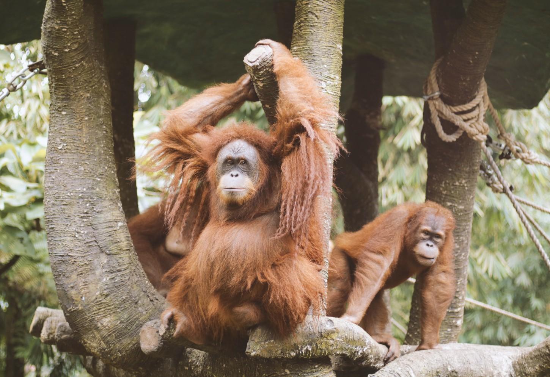 Orang Oetans spotten in het wild Kriski