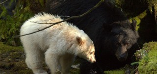 Mysterieuze ontmoeting met de Spirit Bear Op avontuur in Great Bear Rainforest Kriski Plus