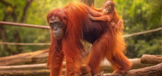 De Orang Oetans van Borneo Majestueuze koning van het regenwoud Kriski Plus