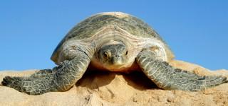Spot groene zeeschildpadden in Ras Al Jinzz Imposante zeedieren in hun natuurlijke habitat Kriski Plus